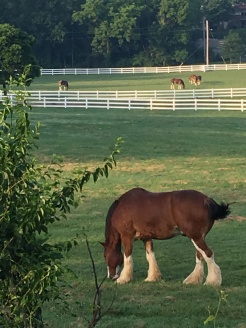Four of the 50 horses out in the morning enjoying the grass. This is 10 feet from the trail.