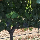 Grapes about 4 weeks from ready to pick