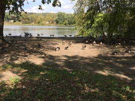 Several hundred geese at Silver Lake