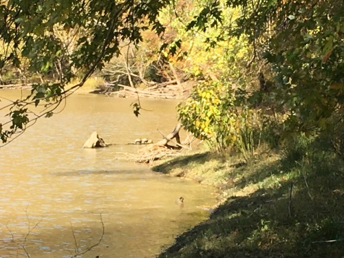 Two turtles on the cumberland river