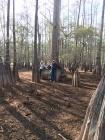 FL Big cypress trees