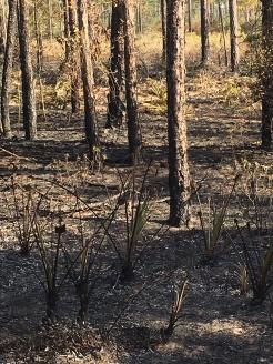 FL Burnt forest