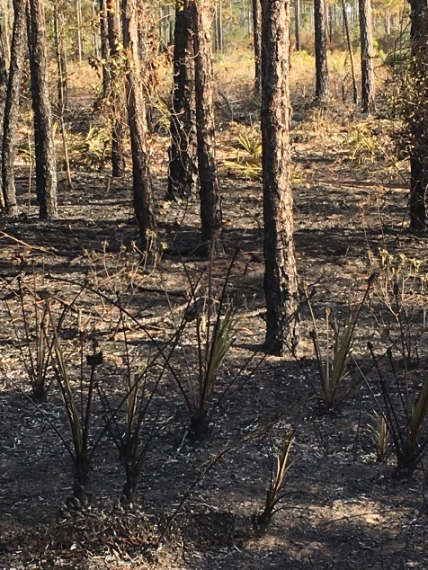 FL Burnt forest