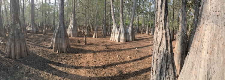 FL Cypress Trees wow