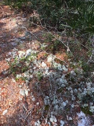 FL Deer Moss