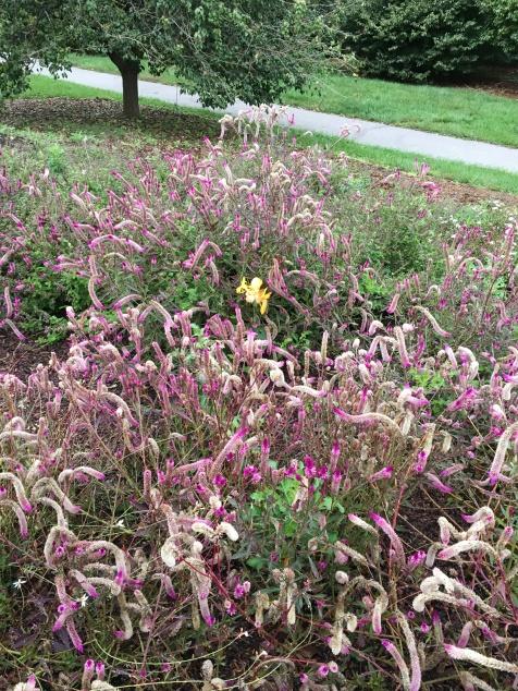Boone County Arbor Celosia