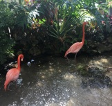 The two flamingos