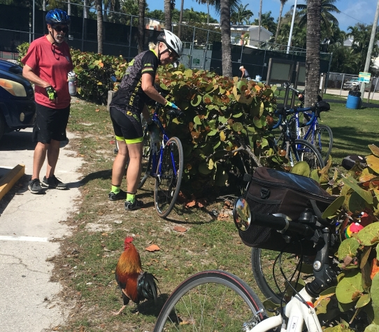 Ride to Keys 2019 fifth day--ride around Key West rooster